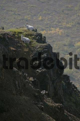 Dall sheep Ovis dalli on a cliff Denali Nationalpark Alaska USA