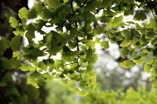 Branch of a Ginkgo tree (Ginkgo biloba), China, Asia