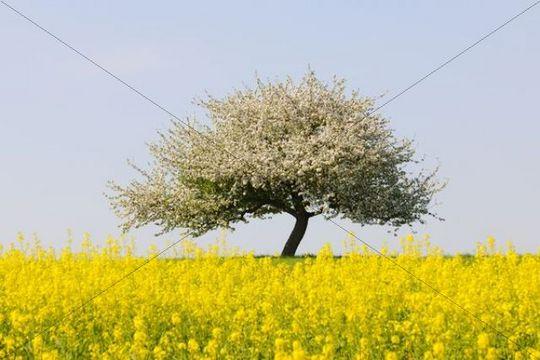Blooming apple tree in a rape field, Lower Franconia, Bavaria, Germany, Europe