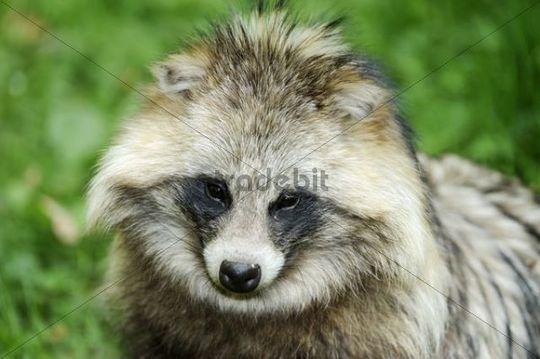 Raccoon dog, Tanuki or Magnut (Nyctereutes procyonoides), portrait