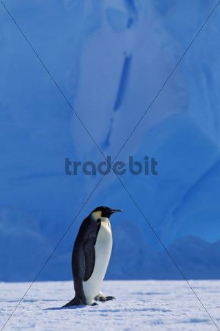 Emperor penguin (Aptenodytes forsteri) walking in front of an iceberg, Weddell Sea, Antarctica