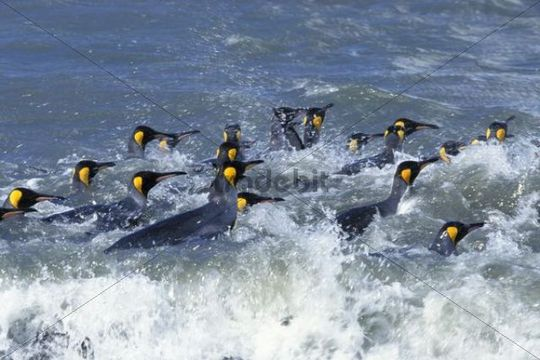 King penguins (Aptenodytes patagonicus), swimming, South Georgia, Subantarctic, Antarctic