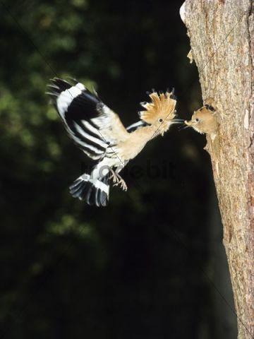 Hoopoe (Upupa epops) feeding young at nest, Greece, Europe