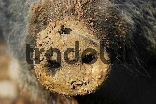 mud-covered nose of a pig
