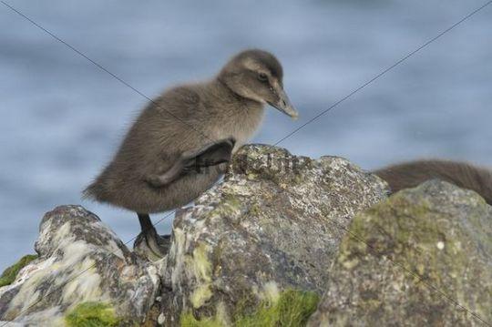 Eider (Somateria mollissima) duckling