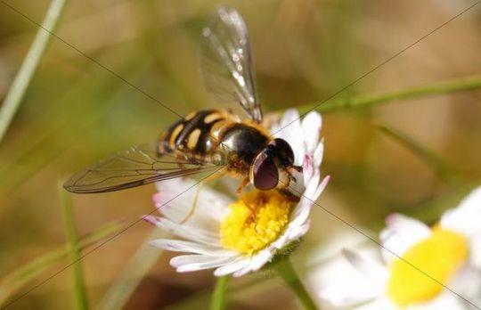 Hover fly (Eupeodes corollae, Metasyrphus corollae) on daisies (Bellis perennis)