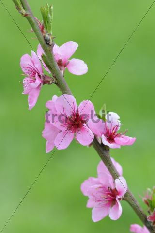 Twig with Peach blossoms (Prunus persica)