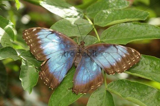 Peleides Blue Morpho (Morpho peleides), South America