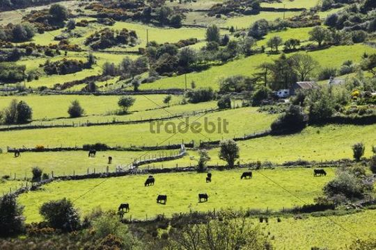 Pastures with grazing cattle, Mourne Mountains, County Down, Northern Ireland, Ireland, Great Britain, Europe