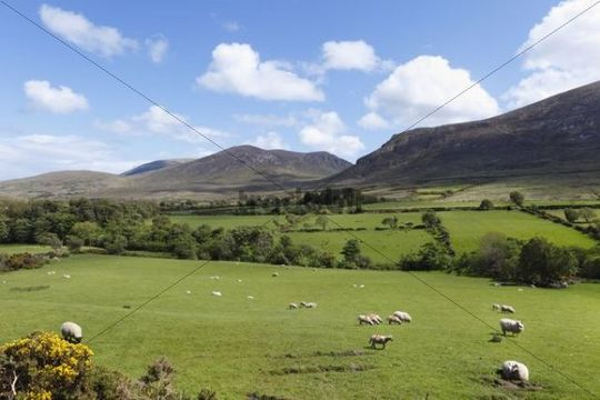 Pastures with grazing sheep, Mourne Mountains, County Down, Northern Ireland, Ireland, Great Britain, Europe