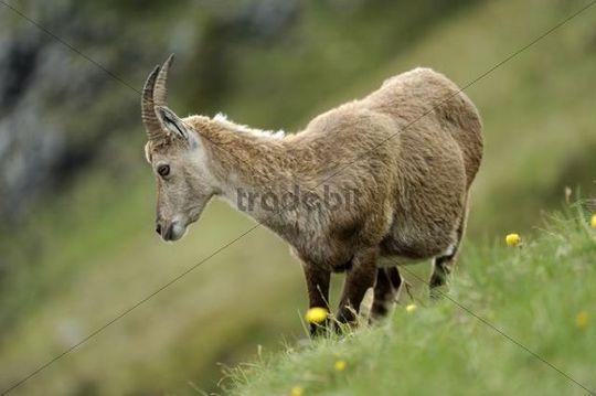 Alpine Ibex (Capra ibex), female, standing in meadow, Niederhorn, Bernese Oberland, Switzerland, Europe