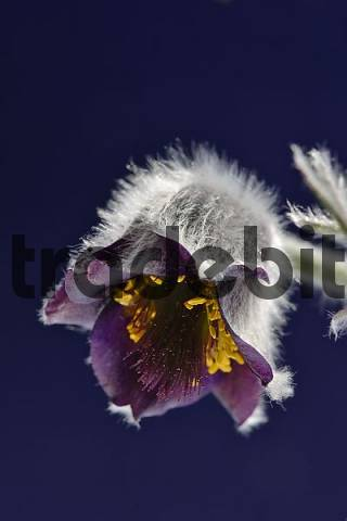 flower of Pulsatilla vulgaris Lower Austria Austria