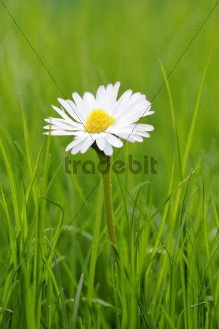 Daisies (Bellis perennis) in grass