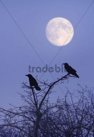 Rooks (Corvus frugilegus) with moon, composing