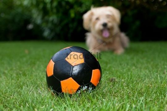 Ball and Kromfohrlaender and Irish Terrier mix waiting behind it