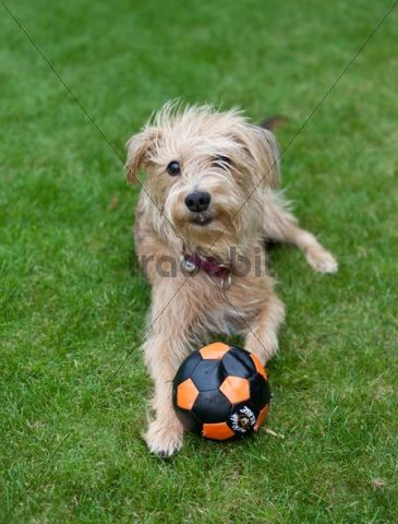 Kromfohrlaender and Irish Terrier playing with a ball