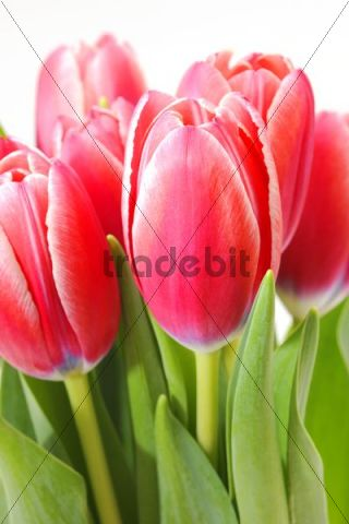Red tulips (Tulipa)
