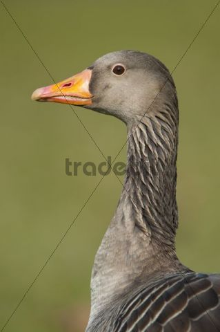 Greylag or Graylag goose (Anser anser), Stuttgart, Baden-Wuerttemberg, Germany, Europe