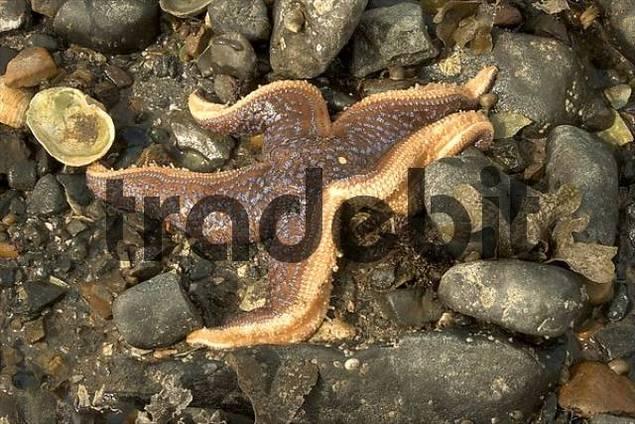 Starfish, Sea of Okhotsk, Magadan area, Eastern Siberia, Russia