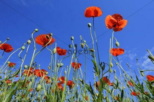 Poppies (Papaver rhoeas), poppy field near Weilheim, Upper Bavaria, Bavaria, Germany, Europe