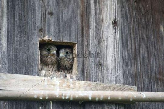 Kestrel (Falco tinnunculus), young, nearly fledged, at the nesting hole, Allgaeu, Bavaria, Germany, Europe