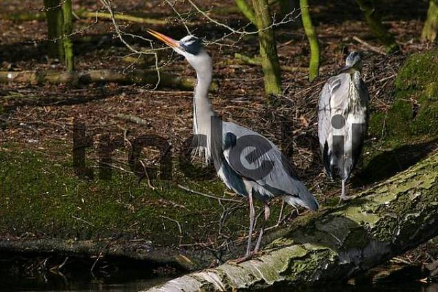 old and young grey herons standing on an tree - gray herons - european common herons Ardea cinerea