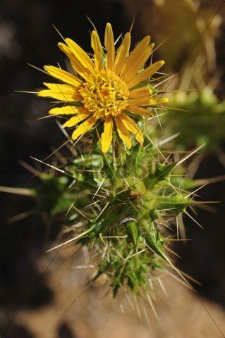 Codon schenkii, Boraginaceae, Goegap Nature Reserve, Namaqualand, South Africa, Africa