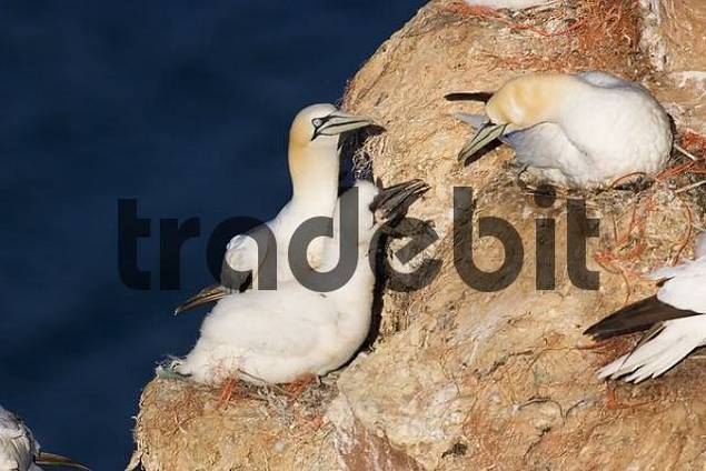Northern gannet Sula bassana or Morus bassanus at nest with offspring