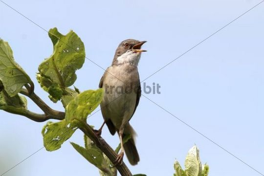 Whitethroat (Sylvia communis), perched on a branch, singing, Lake Neusiedl, Burgenland, Austria, Europe