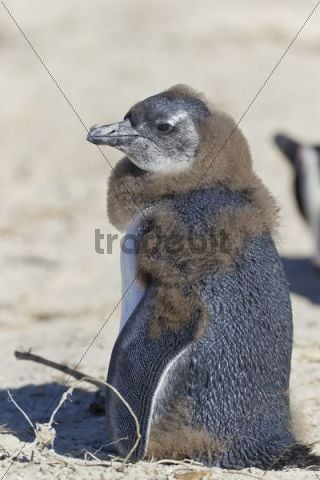 African penguin or Black-footed penguin (Spheniscus demersus), chick, at the Boulders Colony, Cape Town, South Africa