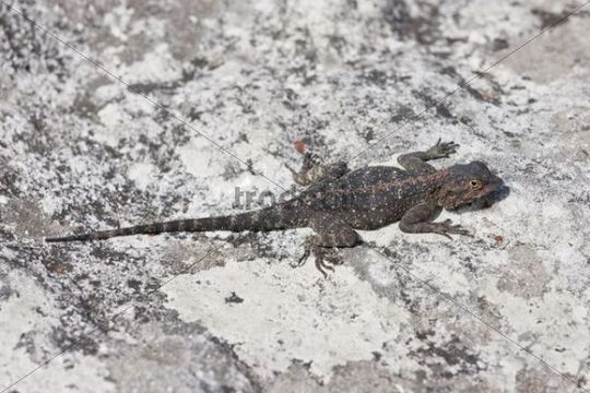 Bearded dragon (Pogona) at Table Mountain, South Africa