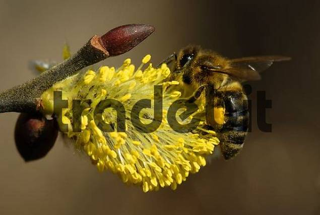 Western Honey bee Apis mellifera collecting pollen on Goat Willow Europe