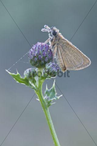 Small Skipper (Thymelicus sylvestris), Haren, Emsland region, Lower Saxony, Germany, Europe