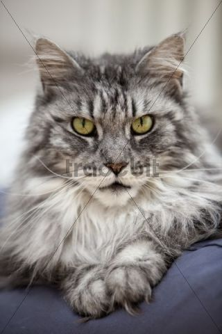 Maine Coon, tomcat, lying on cushion, portrait
