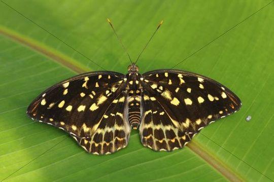Archduke (Lexias dirtea), tropical butterfly, habitat Thailand, Asia