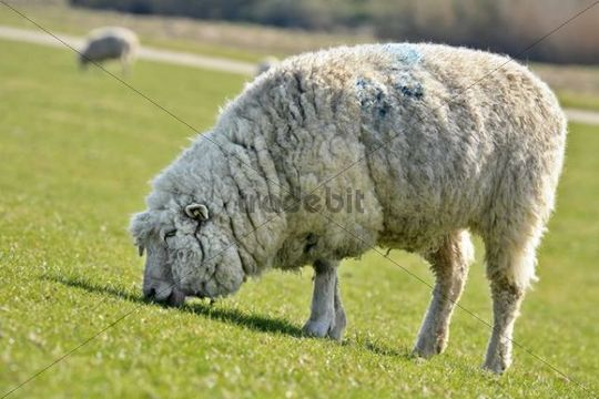 Domestic sheep (Ovis orientalis aries) grazing on an embankment on the Elbe River, conservation and maintenance of embankments, Naturschutzgebiet Haseldorfer Binnenelbe nature reserve, Haseldorfer