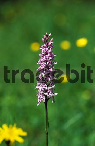 common spotted orchid Dactylorhiza maculata = fuchsii - Germany