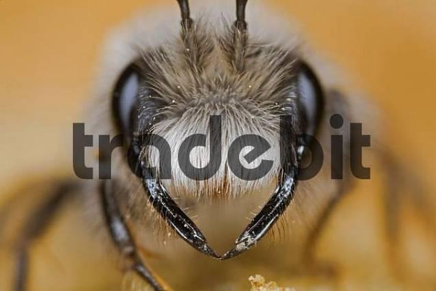 Grey Mining Bee Andrena vaga, wild bee