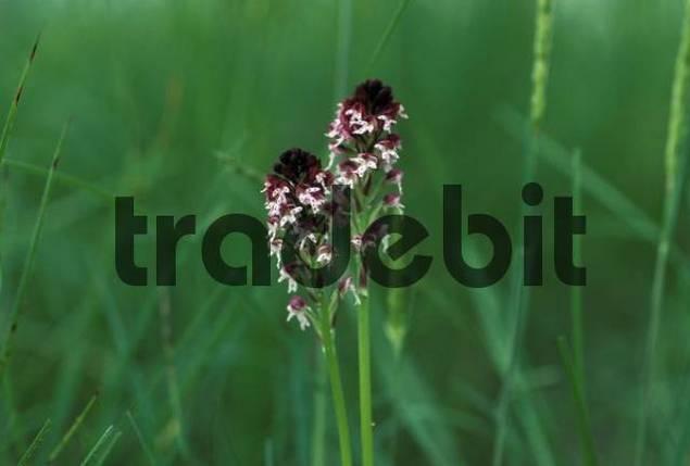 Burnt orchid Orchis ustulata Austria