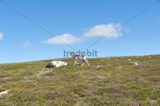 Reindeer (Rangifer tarandus), walking in the mountains, Langfjaellet Nature Reserve near Groevelsjoen, Dalarna province, Sweden, Scandinavia, Northern Europe, Europe