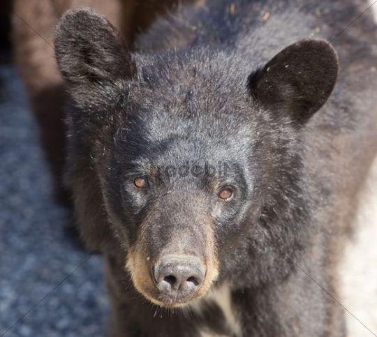 Black Bear (Ursus americanus), cub, Yukon Territory, Canada