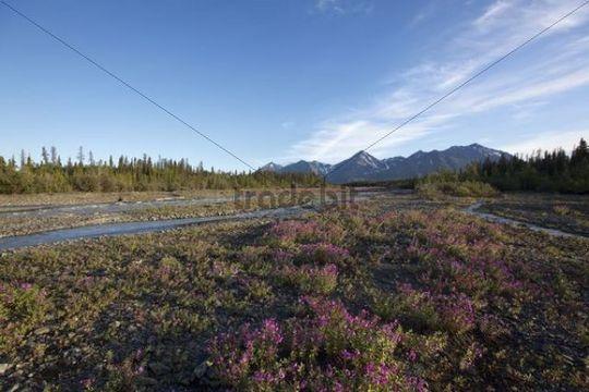 Blooming Broad-leaved Willowherb (Epilobium montanum) near subalpine creek, St. Elias Mountains behind, Kluane National Park and Reserve, Yukon Territory, Canada