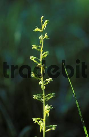 Common Twayblade Listera ovata