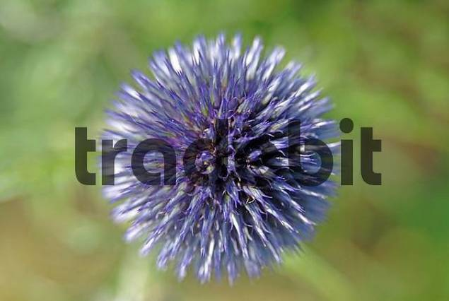 flower of a ball thistle Echinops ritro
