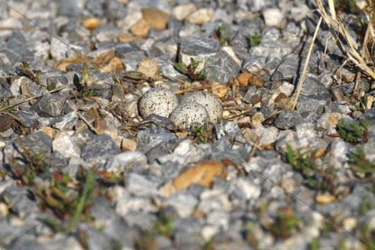 Little Ringed Plover (Charadrius dubius), nest with eggs, well camouflaged on a gravel bank, Apetlon, Lake Neusiedl, Burgenland, Austria, Europe