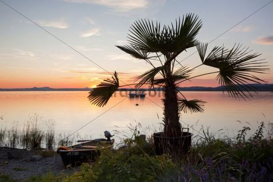 Palm tree on Lake Constance at dusk, Insel Reichenau island, Baden-Wuerttemberg, Germany, Europe, PublicGround
