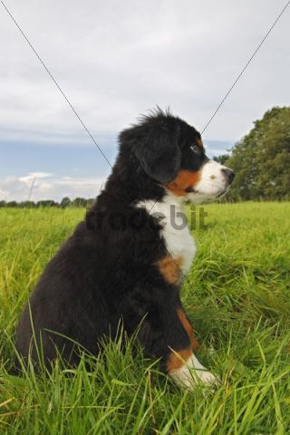 Bernese Mountain Dog (Canis lupus familiaris), puppy