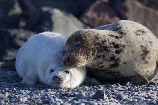 Grey Seal (Halichoerus grypus), Helgoland Dunes, Schleswig-Holstein, Germany, Europe