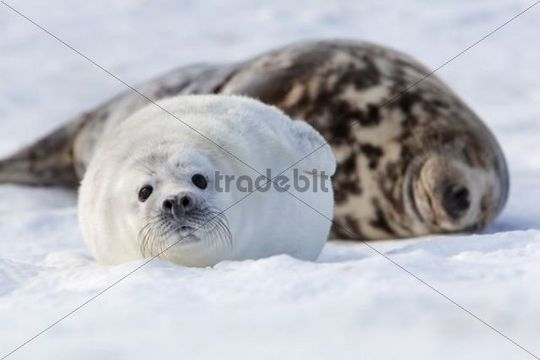 Grey Seal (Halichoerus grypus) with a cub, Helgoland Dunes, Schleswig-Holstein, Germany, Europe