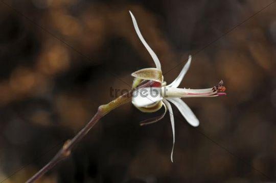 Pelargonium dasyphyllum, Goegap Nature Reserve, Namaqualand, South Africa, Africa